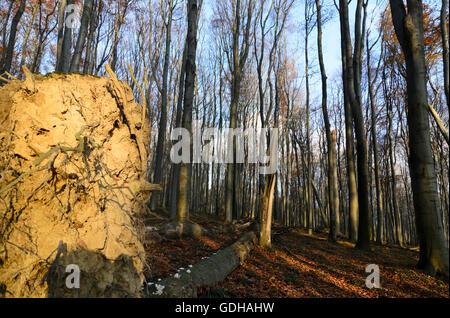 Mauerbach: primeval Forest with fallen trees, Austria, Niederösterreich, Lower Austria, Wienerwald, Vienna Woods - Stock Photo
