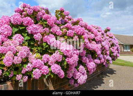 Bush of pink Bigleaf hydrangea (Hydrangea macrophylla) flowers growing in Summer in the UK. - Stock Photo