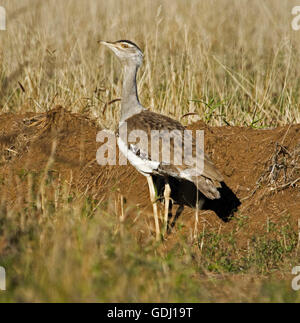 Australian bustard / plains turkey Ardeotis australis, large brown bird with haughty expression on outback grasslands - Stock Photo