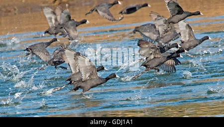 Panoramic image of flock of Eurasian coots, Fulicra atra, taking off from blue water of lake in Australia with water - Stock Photo