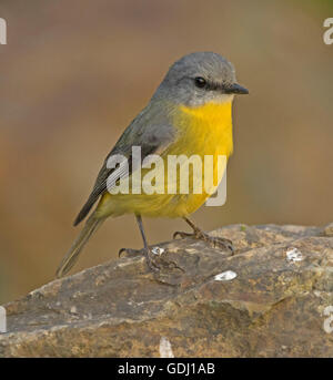 Colourful Australian eastern yellow robin Eopsaltria australis perched on rock in forest against light brown background - Stock Photo