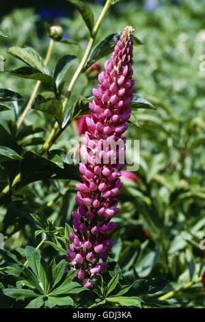 botany, Lupin, (Lupinus), Large-leaved Lupine, (Lupinus polyphyllus), inflorescence, - Stock Photo