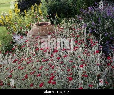 botany, Silene, (Melandrium), Red campion, (Melandrium rubrum), Yellow loosestrife (Lysimachia punctata) and lavender - Stock Photo