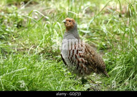 zoology / animals, avian / bird, Phasianidae, Grey Partridge (Perdix perdix), standing in meadow, distribution: - Stock Photo