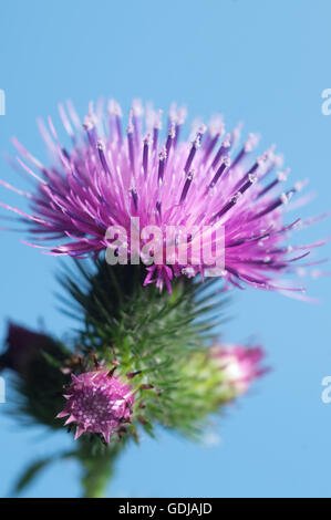 Thistle flower over blue background, closeup shot - Stock Photo