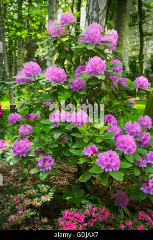 Springtime in the garden. Pink flowers growing on blooming rhododendron shrub. - Stock Photo