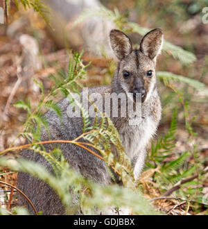 Close-up of beautiful red-necked / Bennett's wallaby Macropus rufogriseus in the wild peering from emerald bracken - Stock Photo