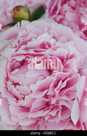 Close up of pink petals of a Common Garden Peony flower with bud