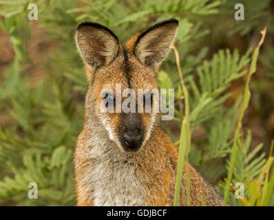 Portrait of face of beautiful red-necked / Bennett's wallaby Macropus rufogriseus in the wild peering from bracken - Stock Photo