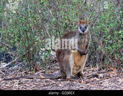 Swamp wallaby, Wallabia bicolour, with thick reddish brown fur, staring at camera, in forest in Mount Kaputar National - Stock Photo