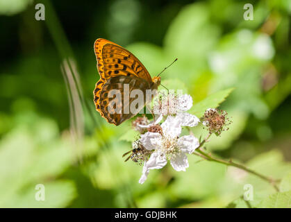 Silver-washed Fritillary (Argynnis paphia ) butterfly basking on bramble blossom in in Fermyn Woods ,Brigstock country - Stock Photo