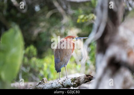 Rufescent tiger heron (Tigrisoma lineatum) in the Amazonian tropical rain forest at La Selva lodge, Napo River, - Stock Photo
