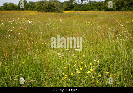 Wildflowers on Mellis Common the largest area of unfenced Medieval common land in England, Mellis, Suffolk, England, - Stock Photo