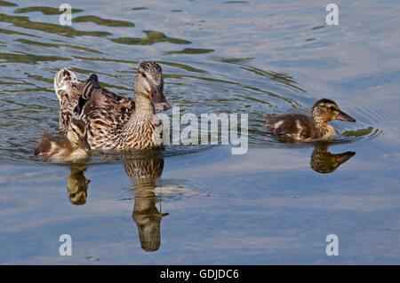 Mallard Duck and Ducklings (anas platyrhynchos), Lake Idro, Italy - Stock Photo