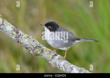 Sardinian Warbler - Sylvia melanocephala - male. - Stock Photo