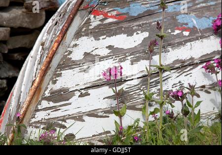 Red Campion (Silene Dioica) and upturned old boat, Sandwick, Mainland, Shetland Islands, UK - Stock Photo