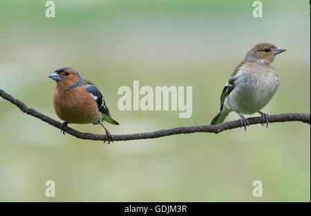 Eurasian Chaffinches - Stock Photo