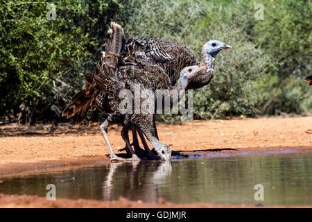 Wild Turkey Family (Meleagris gallopavo) - Santa Clara Ranch, McCook, Texas, USA - Stock Photo