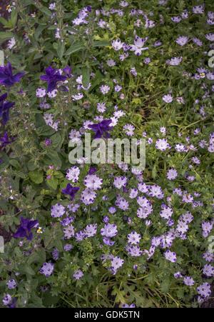 Baby Blue Eyes Nemophila maculata and Clary sage Salvia Viridis - Stock Photo