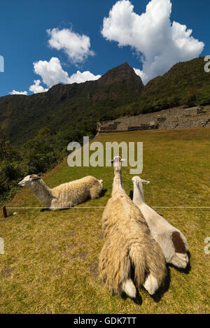 Llamas grazing and lying down on the sacred grass of Machu Picchu. Wide angle view with scenic sky. - Stock Photo