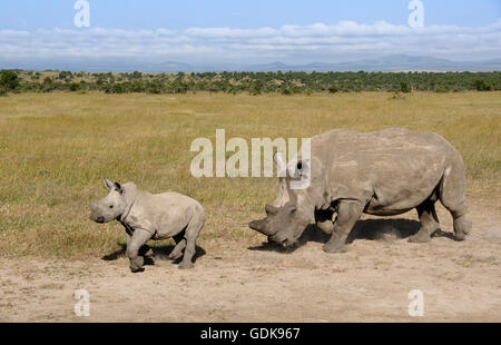 White rhinoceros with calf, Ol Pejeta Conservancy, Kenya - Stock Photo