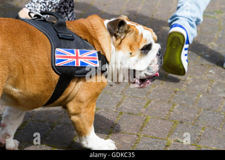 A British Bulldog with union jack emblem - Stock Photo