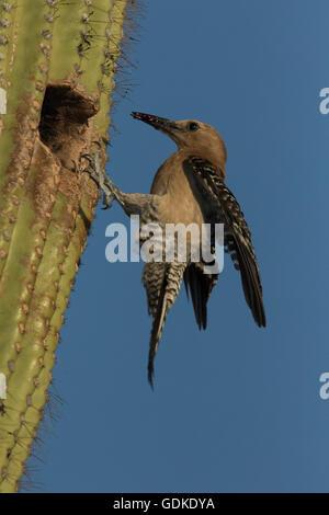 Gila Woodpecker, Melanerpes uropygialis, Sonoran desert , Arizona, bringing food to nest in saguaro cactus - Stock Photo