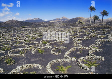 geography / travel, Spain, Canary Islands, Lanzarote, agriculture, winegrowing, wine-growing area La Geria, young - Stock Photo