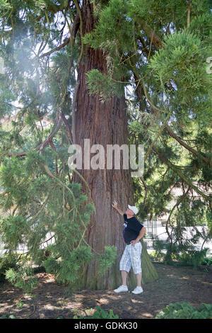 sequoia, Mainau Island, Lake Constance, Baden-Wuerttemberg, Germany - Stock Photo