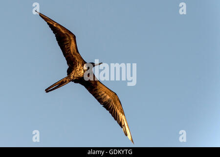 Magnificent Frigatebird (Fregata magnificens) in flight near Santa Catalina Island, Baja California, Mexico - Stock Photo