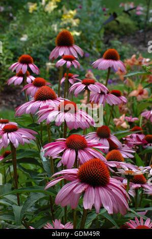 Echinacea purpurea Magnus - Stock Photo