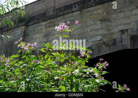 Himalayan Balsam (Impatiens glandulifera) growing alongside the River Avon, Warwick, UK Stock Photo