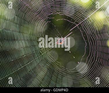 The Kite Spider (Gasteracantha cancriformi) - Stock Photo