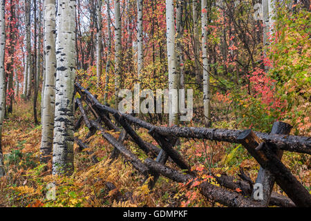 Fall colored maple and aspen trees in the Uinta National Forest in the Wasatch Mountains of Utah. - Stock Photo