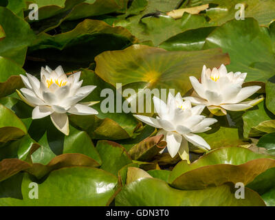 Beautiful white and yellow water lily (Nymphaeaceae) depicted in a pond setting surrounded by green leafage. - Stock Photo