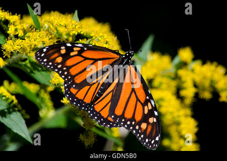 Monarch butterfly feeding on goldenrod flowers up close - Stock Photo