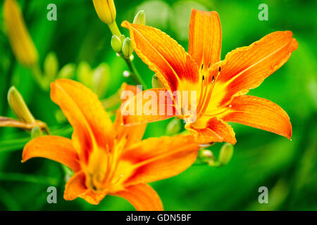 Orange lilies with green foliage close up - Stock Photo
