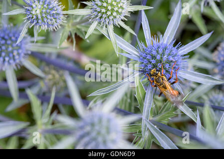 Wasp feeding on the nectar of a blue globe thistle - Stock Photo