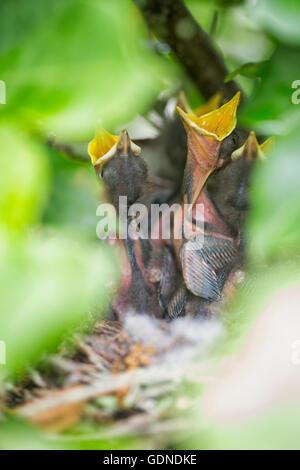 Florida State bird, northern mockingbird chicks (Mimus polyglottos) in nest waiting for food - Stock Photo
