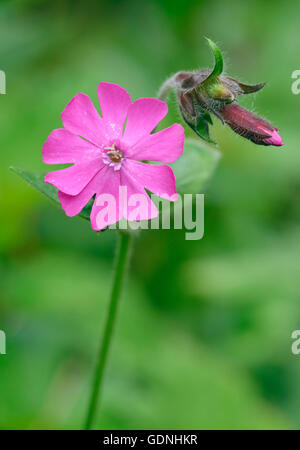 Red Campion - Silene dioica Flower & bud against diffused background - Stock Photo