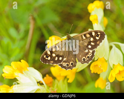 Speckled wood butterfly on the wildflower cowslip - Stock Photo
