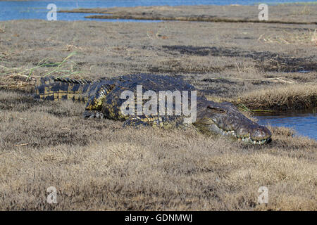 Low level shot of an African Nile crocodile Crocodylus niloticus resting on a grassy bank adjacent to the Chobe - Stock Photo