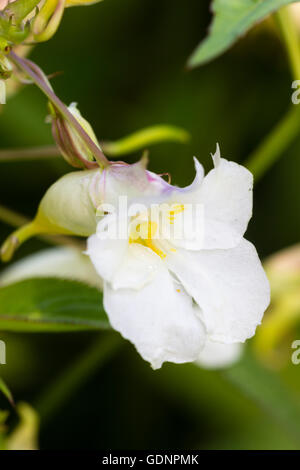 Pink tinged white flowers of the Himalayan balsam, Impatiens arguta 'Alba' - Stock Photo