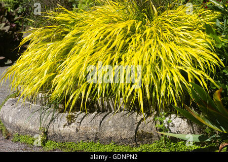 Bright yellow foliage of the Japanese forest grass, Hakonechloa macra 'All Gold' - Stock Photo
