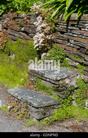 Old stone steps leading up to a drystone retaining wall. Sedum album and Soleirolia (Helxine) soleirolii root in - Stock Photo