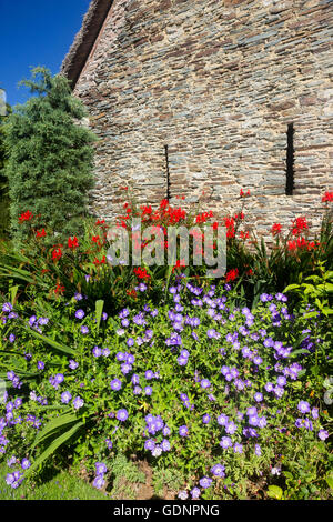 Red Crocosmia 'Lucifer' and blue Geranium 'Rozanne' in front of the wall of the thatched barn at the Garden House - Stock Photo