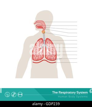 The human respiratory system medical illustration with internal organs - Stock Photo