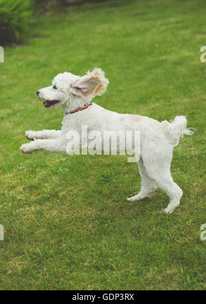 Cockerpoo puppy dog leaping through the air in the garden with ears flapping - Stock Photo