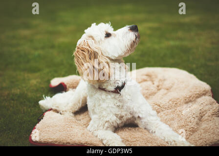 Cockerpoo puppy dog on a blanket in the garden  looking up at something - Stock Photo