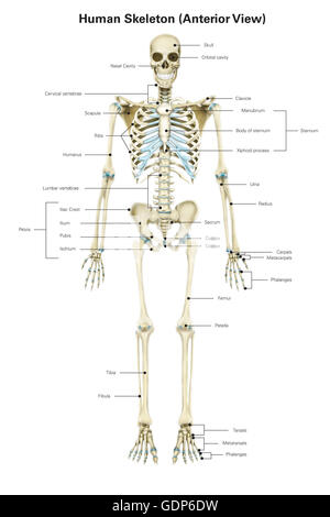Anterior view of human pelvis, with labels Stock Photo: 111740762 ...